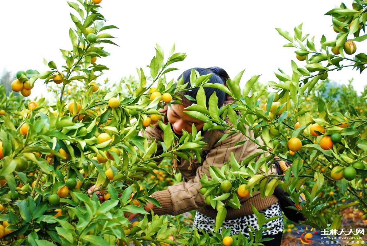 秋冬季是瓜果盛产的节令,各类鲜果争先上市,桔子也不甘逞强,一身金黄
