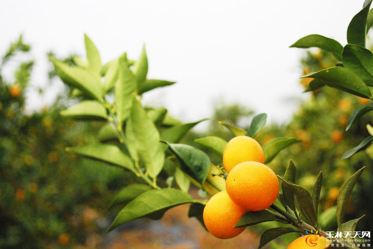 来到桔子园,映入眼帘的是遍野的柑桔树。在路边停下车,跳下车子,一溜烟就跑到桔林,猫着身子摘了几个桔子,津津有味的吃着,站在桔林尝着酸酸甜甜的桔子,心中涌现一种莫名的感动。 熟透了的桔子,黄的、橙的,和桔树的叶子黄绿相间,有着鲜明的对比。而那些绿色的桔子,也许还没熟的缘故,藏在枝叶间,不仔细看可不易发现。 朋友很热情,不停招呼我们先品尝说:没关系,随便摘吧,能摘多少摘多少。 朋友说,桔子一般是两到三年才能挂果,这里的属于生态种植园,用的是天然肥料鸡粪,所以桔子产量高,味美鲜甜。近段时间雨水适宜,桔子